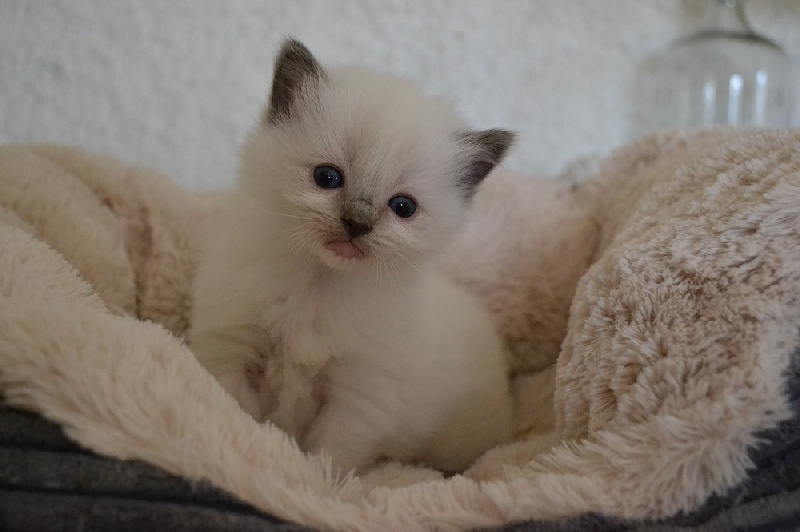 blue mitted -