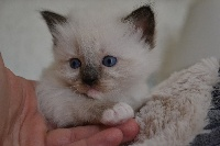 seal mitted - Ragdoll