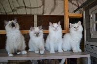 Scot Dale - Chaton disponible  - Ragdoll