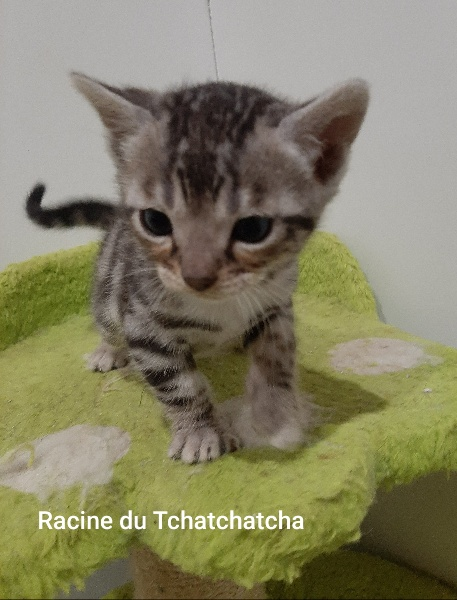 Racine du Tchatchatcha -