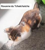 Roxanne du Tchatchatcha - Maine Coon