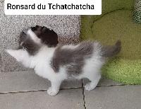Ronsard du Tchatchatcha - Maine Coon