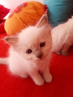 De Rosencat Virna - Chaton disponible  - Ragdoll