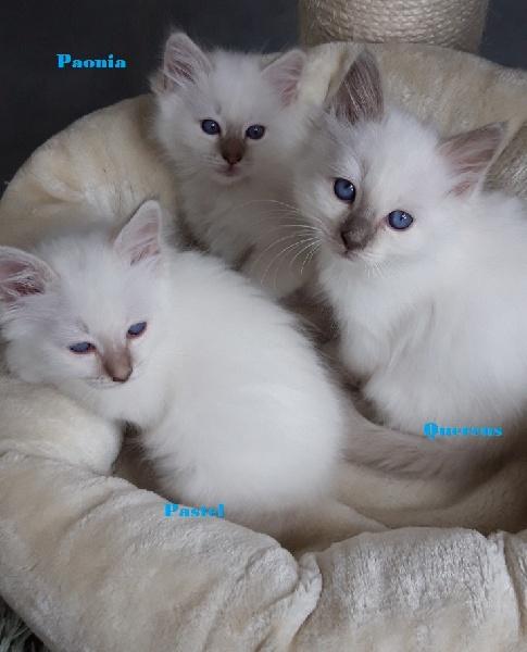 chaton Sacré de Birmanie De Rosencat Virna