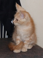 Des Meg Coons - Chaton disponible  - Maine Coon