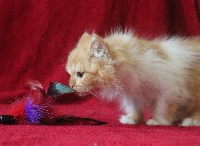 CHATON BLH RED BICOLORE - British Shorthair et Longhair