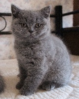 Potter - British Shorthair et Longhair