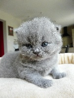 Des Nabis - Chaton disponible  - British Shorthair et Longhair