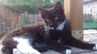 Franck Thiesse - Chaton disponible  - Maine Coon
