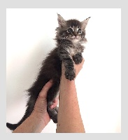 De La Residence Coon - Chaton disponible  - Maine Coon