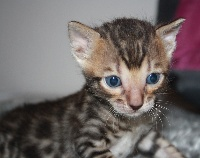Tracy Macq - Chaton disponible  - Bengal
