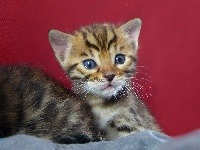 Anak Kucing - Chaton disponible  - Bengal