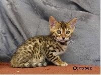 Anak Kucing - Chaton disponible  - Bengal