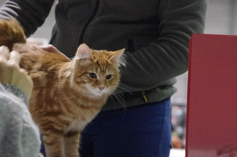 Des Kurilians Breizh - Exposition Feline de Nantes la Beaujoire du 14/15 Decembre