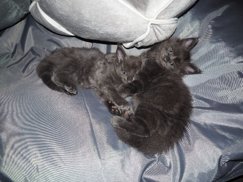 Midsummer Night - Chaton disponible  - Maine Coon