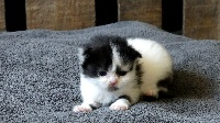 De La Brocante - Chaton disponible  - Scottish Fold