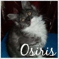 OSIRIS - Maine Coon
