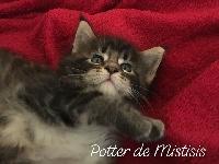 Potter de Mistisis - Maine Coon
