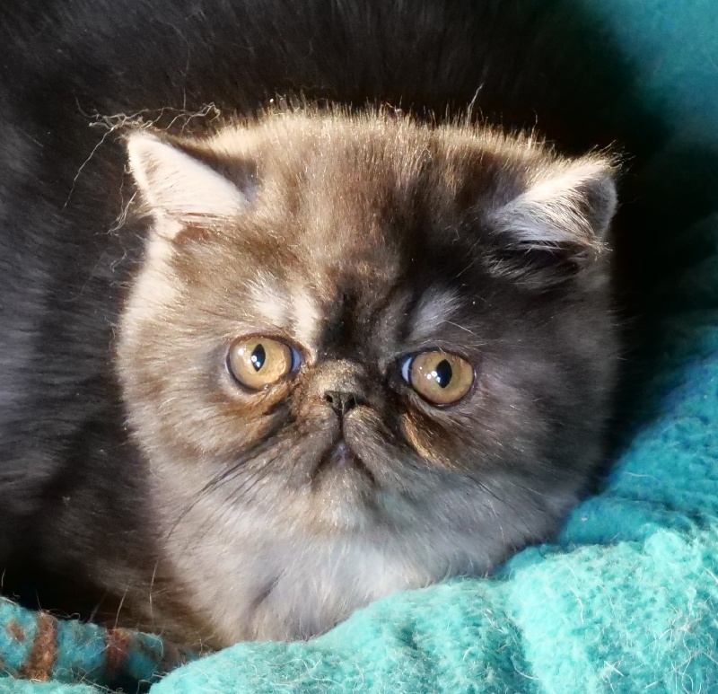 chaton Exotic Shorthair Line Celebritie's
