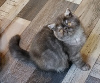 Line Celebritie's - Chaton disponible  - Exotic Shorthair