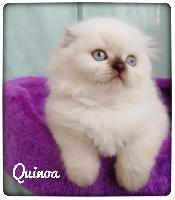 Quinoa (Paddington)  - Highland Fold