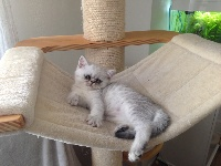 Optimus - Exotic Shorthair