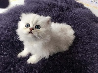 Nefeli-shila's - Chaton disponible  - Persan