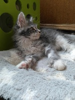 Powoh PP (6666) - Maine Coon