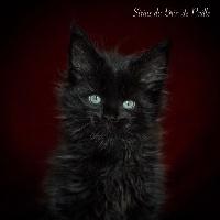 Sirius - Maine Coon