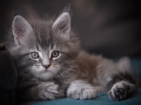 Oxo - Maine Coon