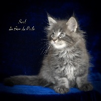 Seed - Maine Coon