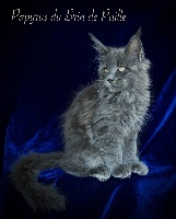 Papyrus - Maine Coon