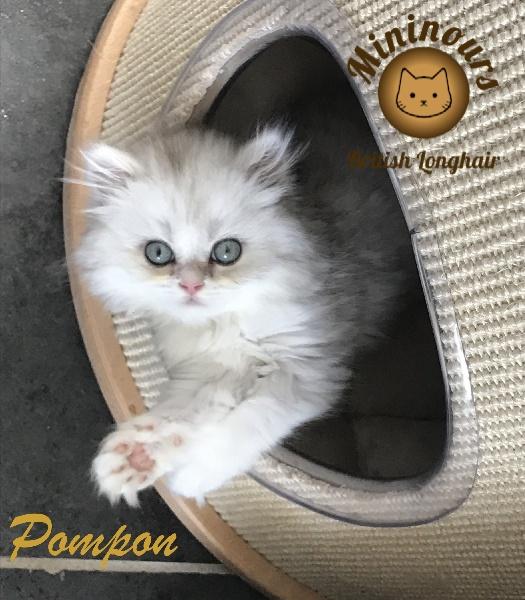 Pompon -