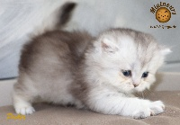 Pocket - British Shorthair et Longhair