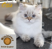 Des Mininours - Chaton disponible  - British Shorthair et Longhair