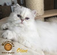 Olive - British Shorthair et Longhair