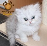 Pompon - British Shorthair et Longhair