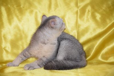 SULLY - British Shorthair et Longhair