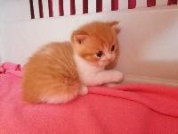 Sting Red (Makerel) tabby et blanc bicolore - Scottish Straight
