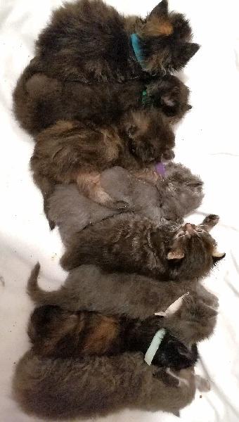 chaton Sibérien Du Siberian Lovers