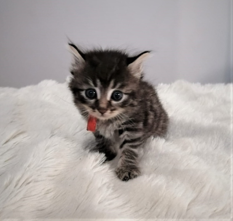 Chaton Colier ROUGE