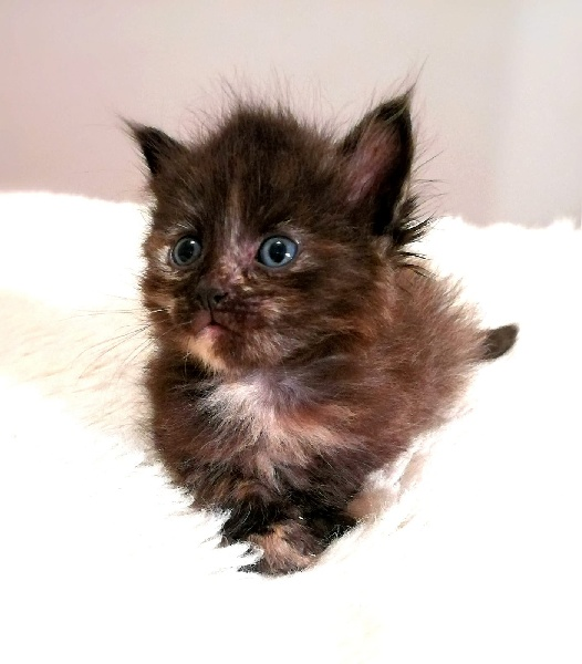 Chaton colier ROSE