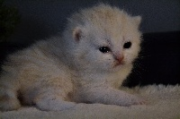 SORTILEGE - British Shorthair et Longhair