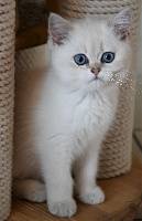 De Vis-à-vis - Chaton disponible  - British Shorthair et Longhair