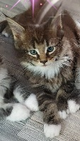 Pandy - Maine Coon