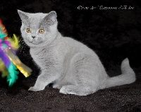 Pirate - British Shorthair et Longhair
