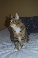 Des Perles De Sibérie Royal cats desiderio