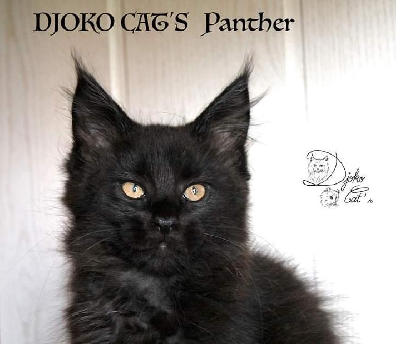 DJOKO CAT'S Panther