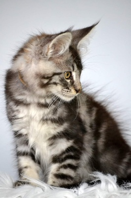 Sher'Win - Maine Coon