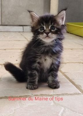 Summer du Maine of Tips - Maine Coon